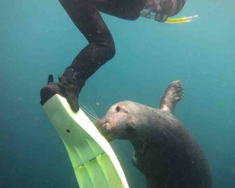 Seal snorkelling 12